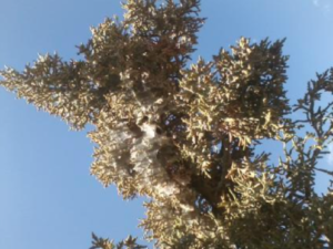 Spider Mites Baca S Trees